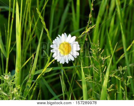 The one marguerite between the grass looks very beautiful.