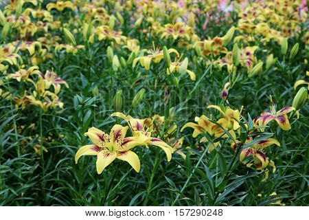 Field of yellow Lilium Pieton flowers in full bloom