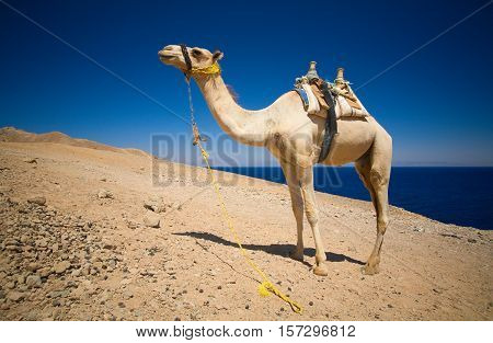 Single camel. Dahab Blue Hole area, Egypt, the Red Sea.
