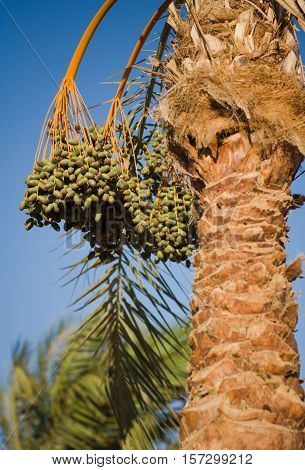Date palms, beach of the Red Sea, Dahab, Egypt.