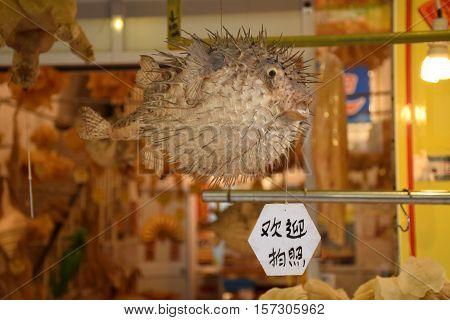 Souvenir of an embalmed puffer fish in a shop in Lantau island, Hong Kong - China