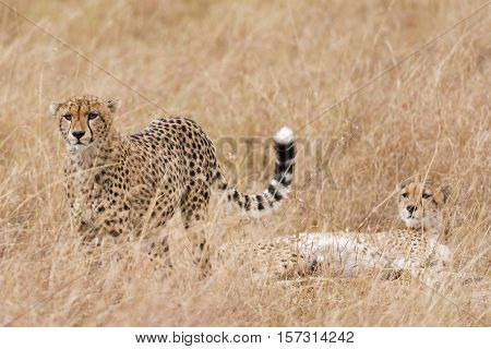 Adult brother cheetah resting afer succesfull hunting Masai Mara National Reserve Kenya East Africa