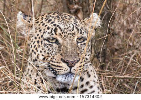 Leopard head cloaeup Masai Mara National Reserve Kenya Eastern Africa