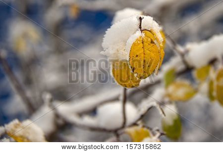 yellow autumn leaves on a branch in the snow