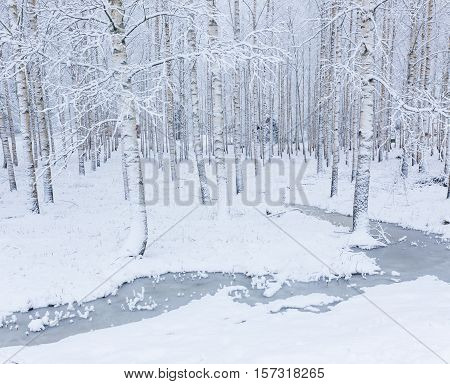 Birch wood forest covered in snow at winter