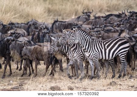 group of zebras in front of large herd of white bearded wildebeests (Connochaetes tuarinus mearnsi) Maasai Mara National Reserve Kenya