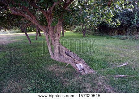 The trunk and twisted branches of a mulberry tree (Morus alba) in a back yard in Harbor Springs, Michigan during August.