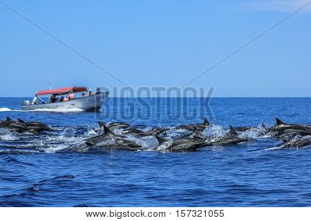 Several dolphins jumping and swimming off the coast of La Paz and close to Isla Espiritu Santo in Baja California, Mexico. In background a boat during a sightseeing tour of observation of animals. poster