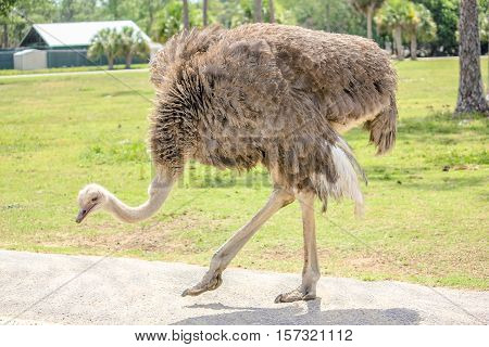 Close up of a female ostrich, Struthio camelus, while walking.