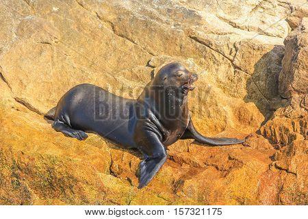 California sea lion, Zalophus californianus, on the rocks. Isla Coronado near Loreto in Baja California, Mexico.