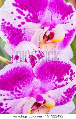 Close up flowers of pink with white inclusion Orchids philinopsis