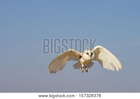Barn Owl (Tyto alba) in a desert near Dubai United Arab Emirates