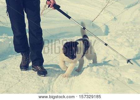 Laika puppy plays with a trekking pole at sunny winter day. Toned image.