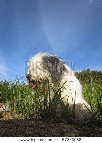 Fluffy bobtail dog resting on green grass