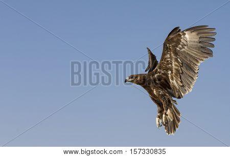 Greater Spotted Eagle (clanga clanga) flying in a desert near Dubai UAE