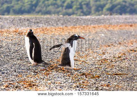 Papua penguin couple at the seaside (Tierra del Fuego -Argentina)