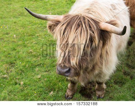 Light blond Scottisch highland cow in meadow
