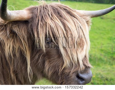 Light blond Scottisch highland cow in meadow