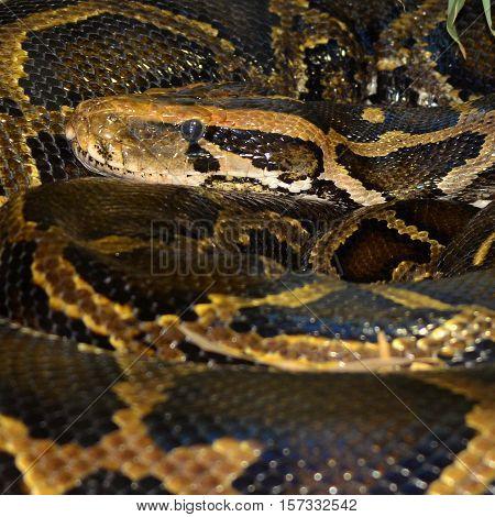 Royal Python, or Ball Python (Python regius)