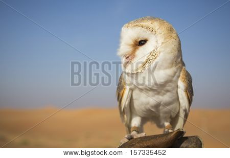 Barn Owl (Tyto alba) on a hand of a falconer in a desert near Dubai UAE