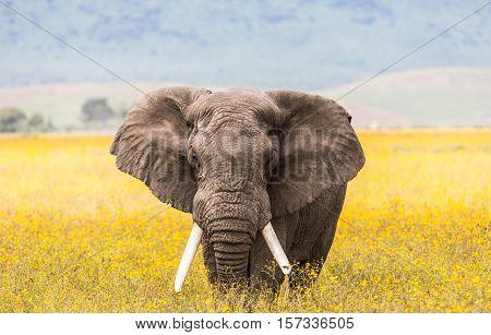 Elephant with yellow wild flowers. Ngorongoro crater, Tanzania