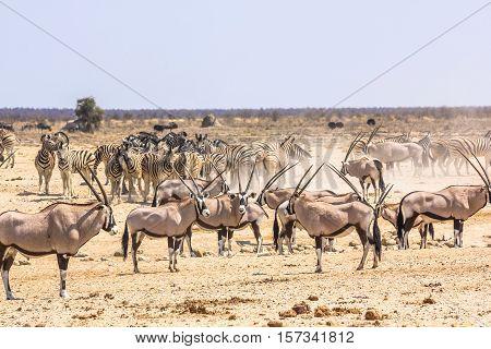 wildlife animals: zebras oryxs at water pool in Namibian savannah of Etosha National Park, Namibia, Africa