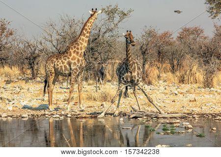 two giraffes drinking at pool in Namibian savannah of Etosha National Park, dry season in Namibia, Africa