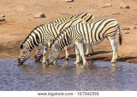 three zebras drinking at pool in Namibian savannah of Etosha National Park, dry season in Namibia, Africa