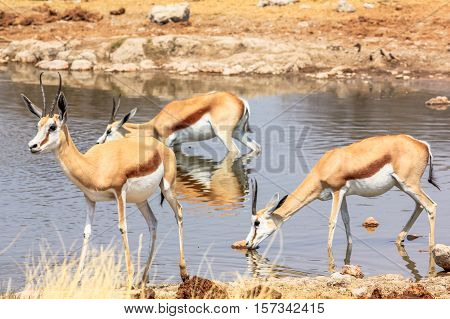 three springboks gazelles at pool in Namibian savannah of Etosha National Park, dry season in Namibia, Africa