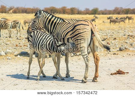zebra nursing little zebra at Etosha National Park in Namibia, Africa