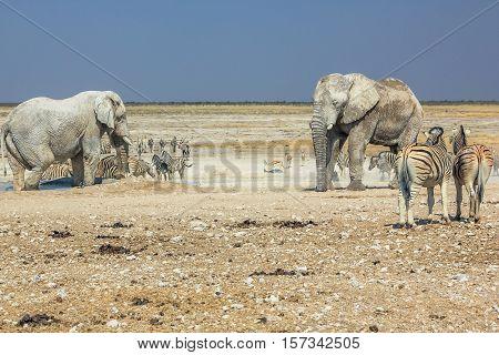 wild animals: zebras elephants drinking at pool in Namibian savannah of Etosha National Park, dry season in Namibia, Africa