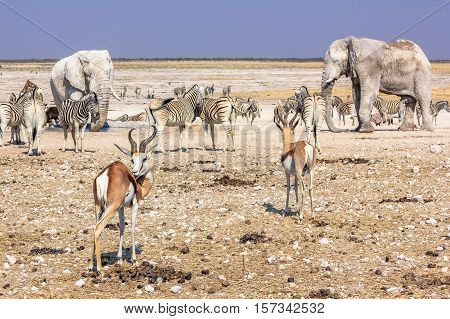 wild animals: zebras elephants springboks gazelles drinking at pool in Namibian savannah of Etosha National Park, dry season in Namibia, Africa