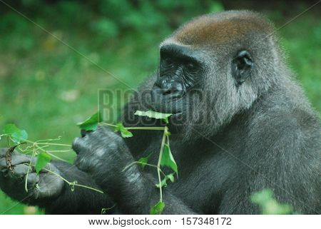 Silverback gorilla snacking on green leaves in a grassy area