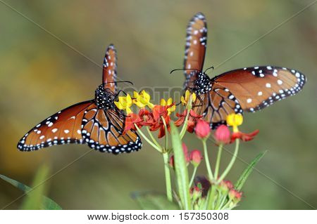 Two Queen Butterflies (Danaus gilippus) on Milkweed flowers