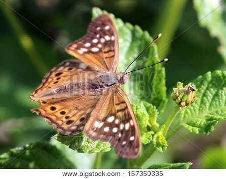 A Tawny Emperor butterfly (Asterocampa clyton) with wings spread