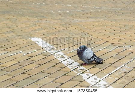Dove Sits Hunched On The Stone Pavement Of The Street