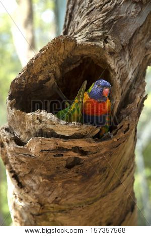 Rainbow lorikeet parrot standing in a tree