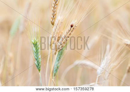 Close up of wheat ear and ladybug in field