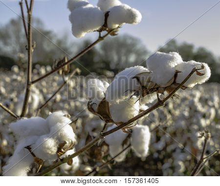 Close up of cotton bolls on a defoliated cotton plant in a field