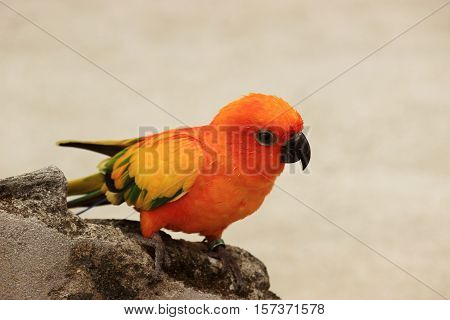 Orange color parrot sitting on a broken wall