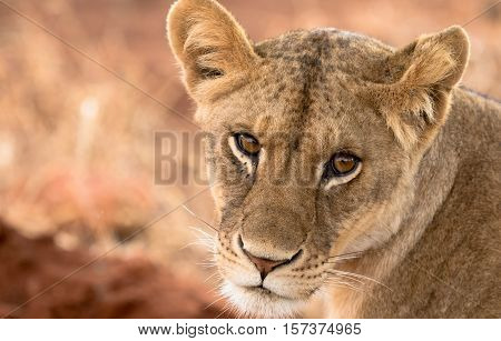lion walking in the Savannah looking for shade in Serengeti National Park in Tanzania Africa