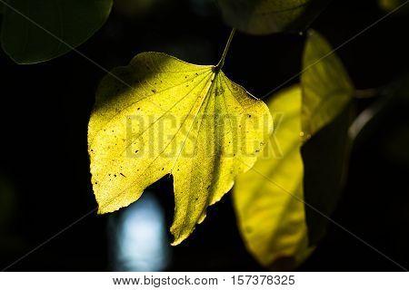 Fresh Yellow Leaves