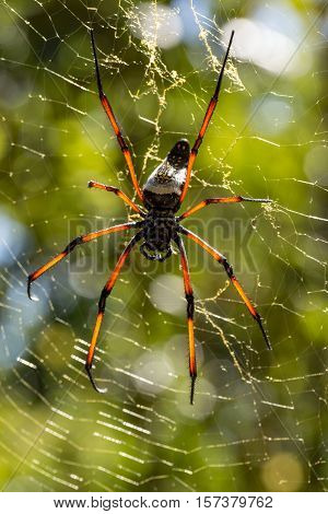 Golden Silk Orb-weaver On Net