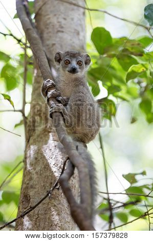 Baby Of Crowned Lemur Ankarana National Park