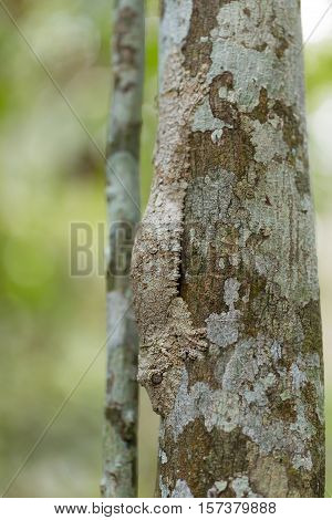 Perfectly Masked Mossy Leaf-tailed Gecko