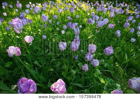 A large number of purple tulips on a background of green vegetation.