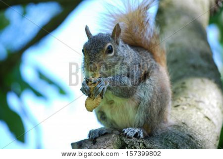 Squirrel poised on a tree branch with a peanut.