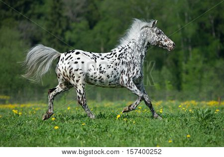 Appaloosa horse runing on the meadow in summer time