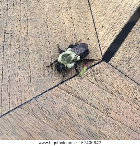 large bee on a wooden table in focus