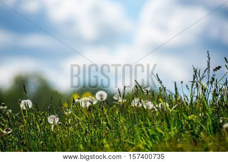 Dandelions and vegetation on the background of blue sky